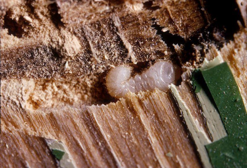 Larva Červotoče pronikavého